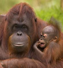 Q Es Un Orangutan WWF España - Adop...